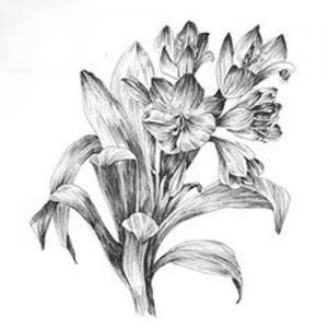 黑灰素描君子兰纹身手稿图片